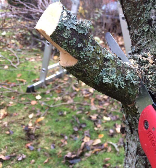 Beskärning fruktträd- att undvika 'tappar'