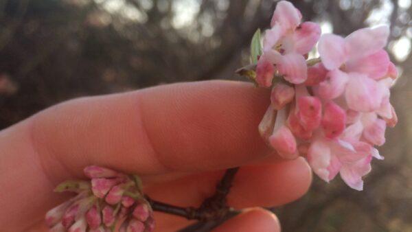 Vårblommande buskar I